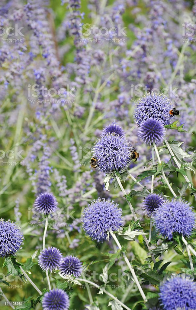 Globe thistle royalty-free stock photo