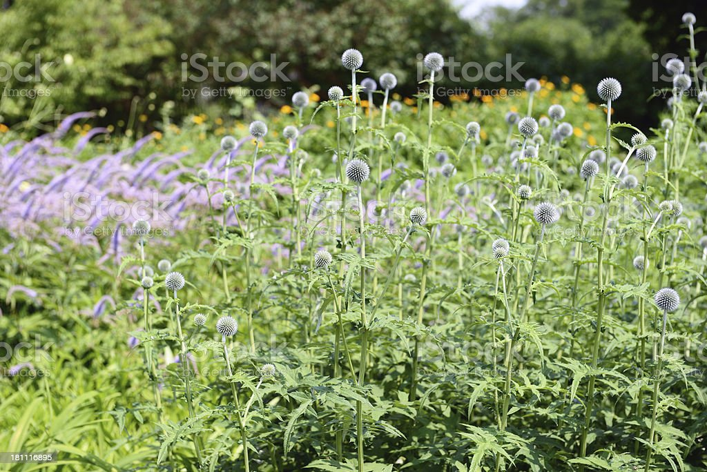 Globe Thistle (Echinops banaticus) stock photo