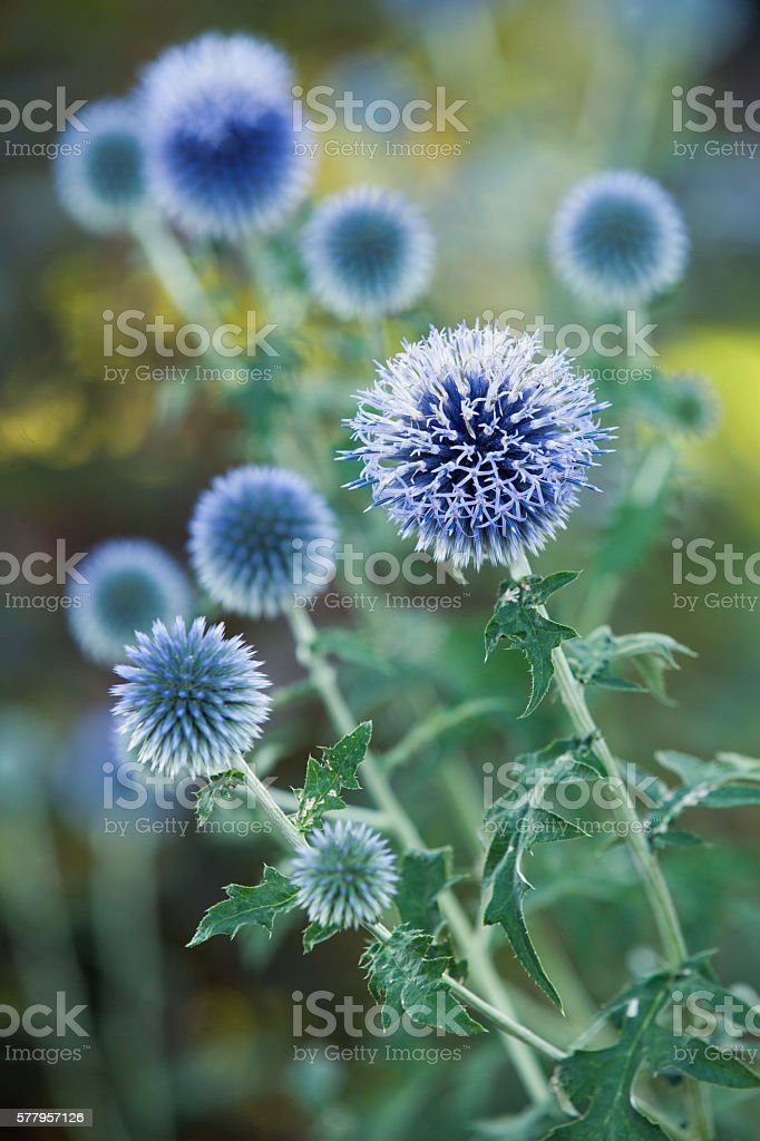 Globe Thistle stock photo