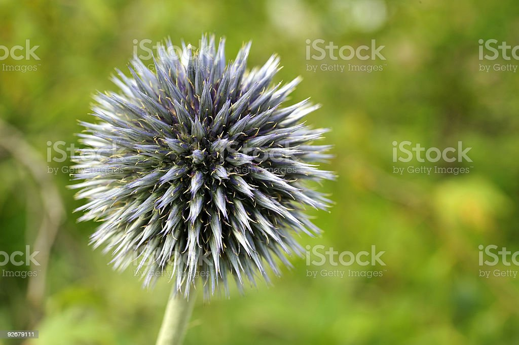 Globe Thistle (Echinops) stock photo