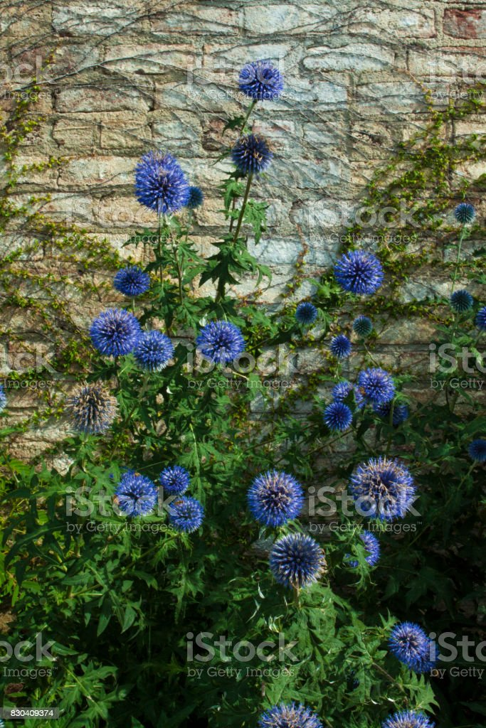 Globe Thistle Plant stock photo