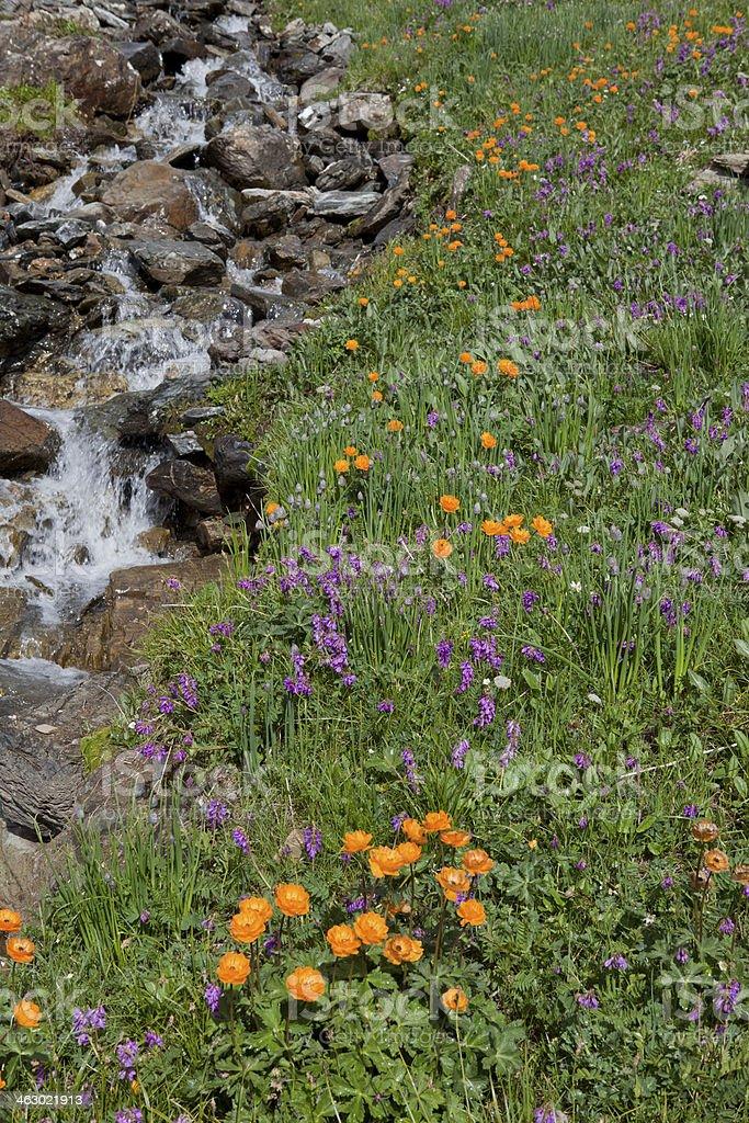 Globeflower and stream stock photo