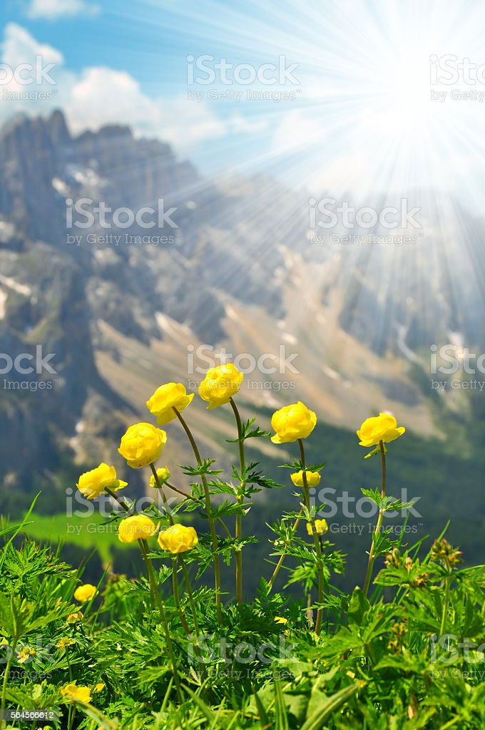 Globeflower blooms on meadow, in the background mountain Latemar stock photo