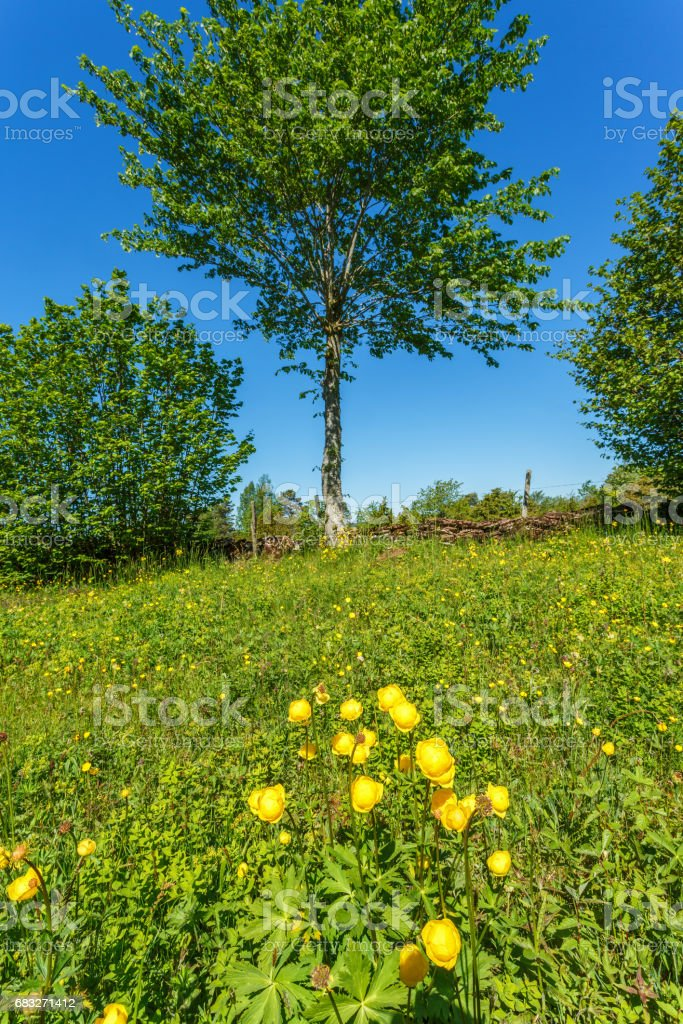 Globeflower on a summer meadow stock photo