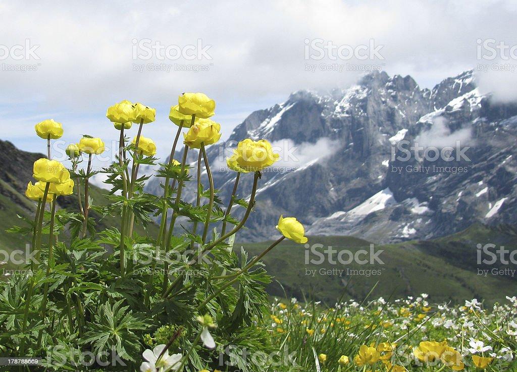 Globeflower royalty-free stock photo