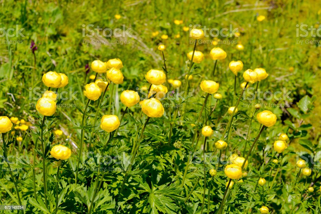 Globeflowers in the French Alps stock photo