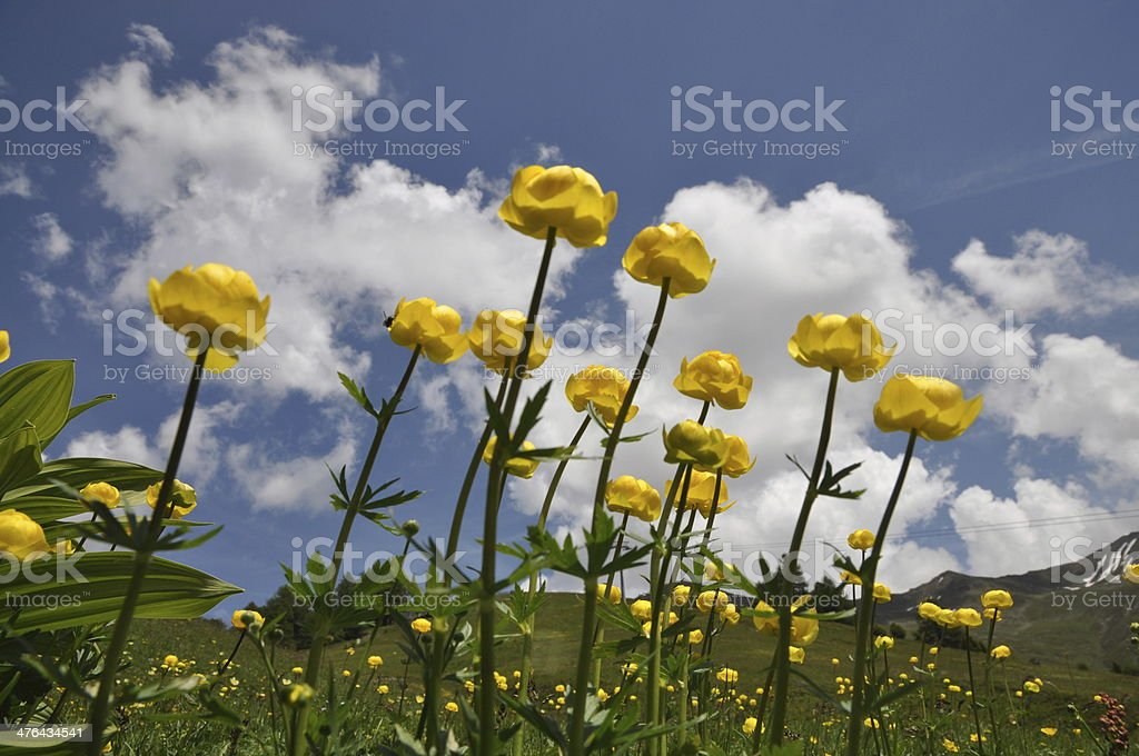 Globeflowers stock photo