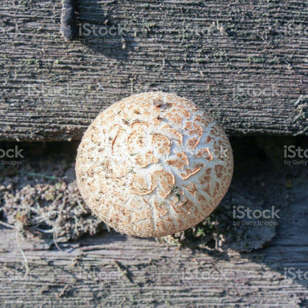 globular fungus growing on a wooden wall stock photo
