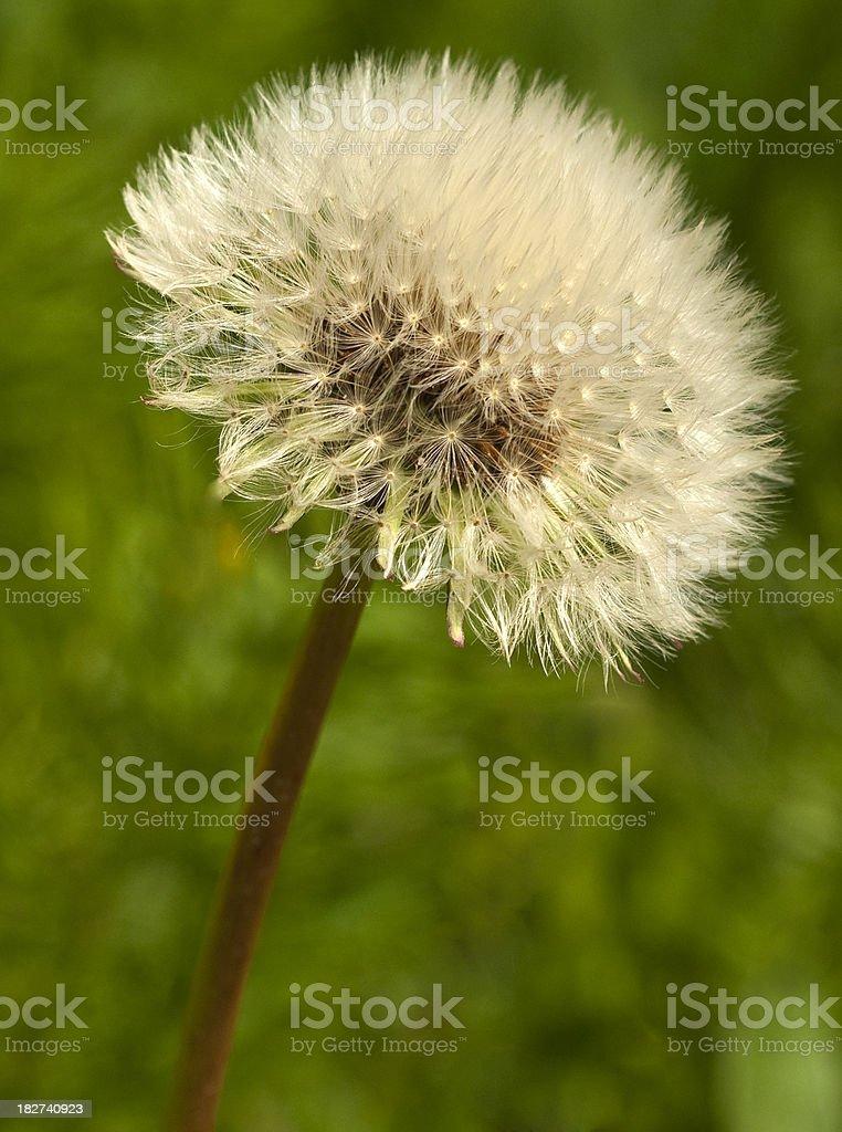 Globular Seed Head stock photo