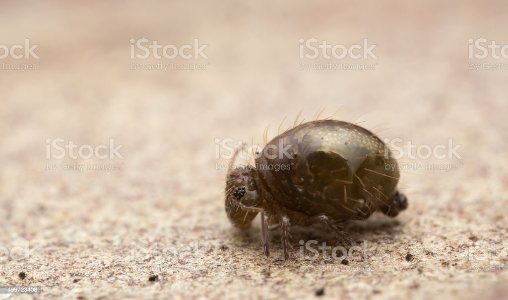 Globular springtail, Sminthuridae springtail, extreme close-up with high magnification stock photo