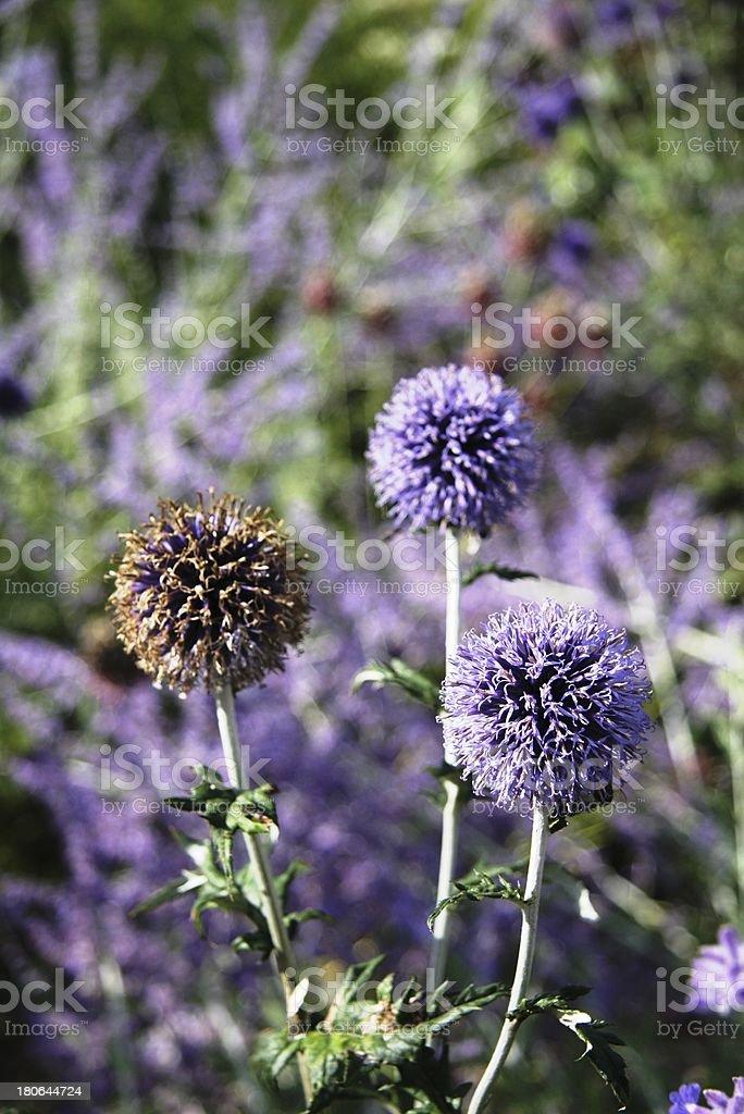 globularia stock photo