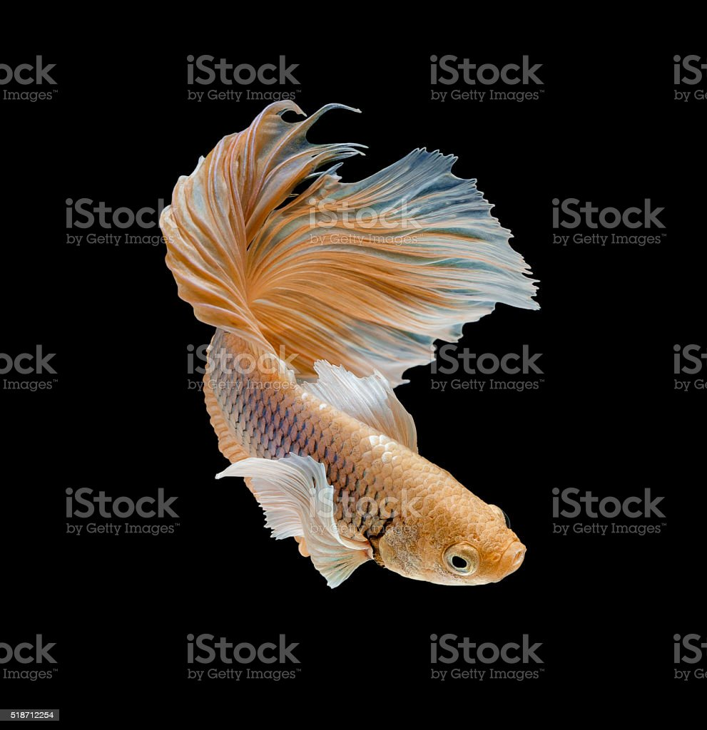 glod siamese fighting fish stock photo