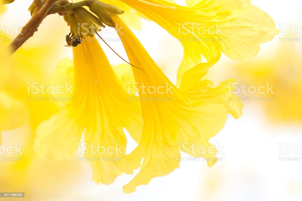 Gloden flower - Tabebuia chrysantha with soft focus stock photo