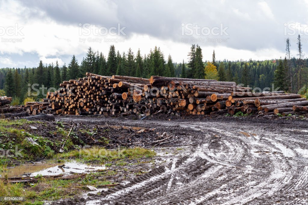 Gloomy autumn landscape. Wet dirt road, warehouse of felled trees and forest. stock photo