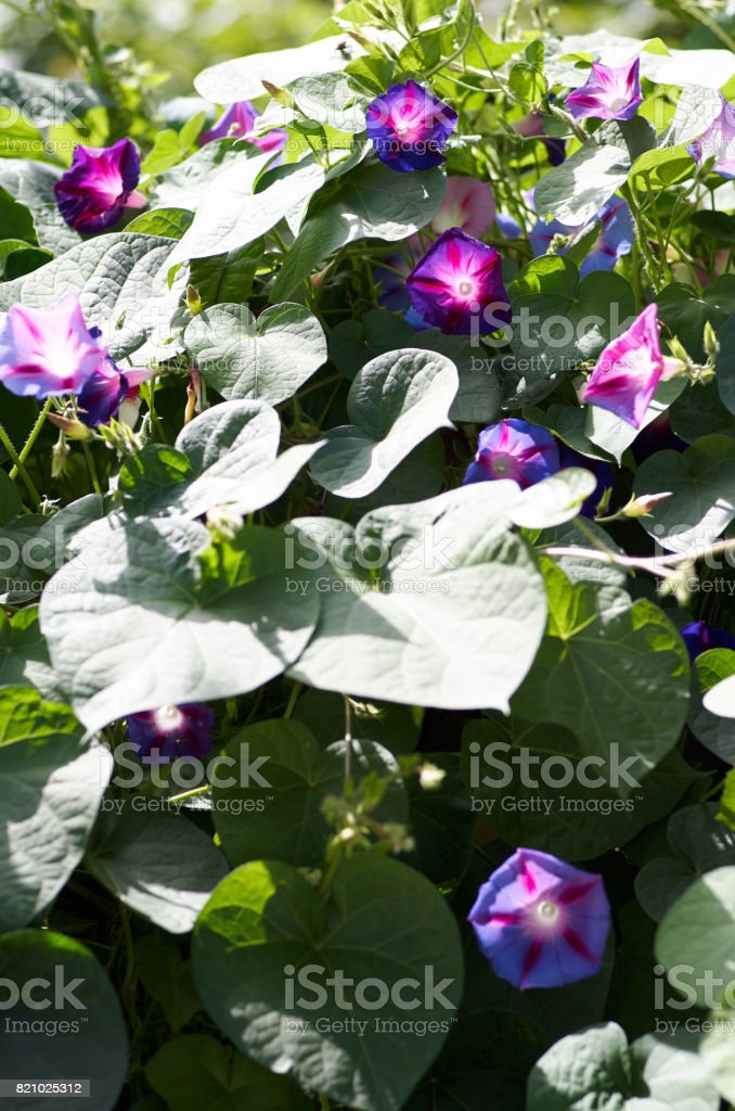 Glorious blue morning glory in bright sunshine.Beautiful violet stock photo