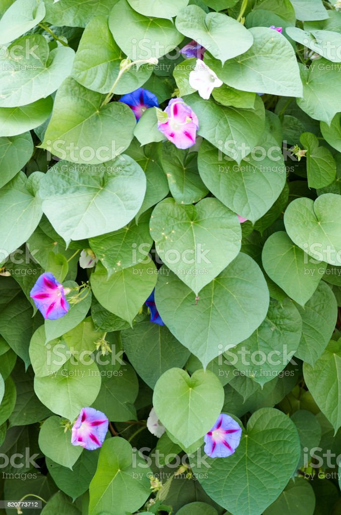 Glorious morning glory blooming in the morning.Beautiful violet stock photo