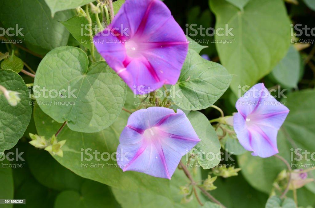 glorious morning glory garden stock photo