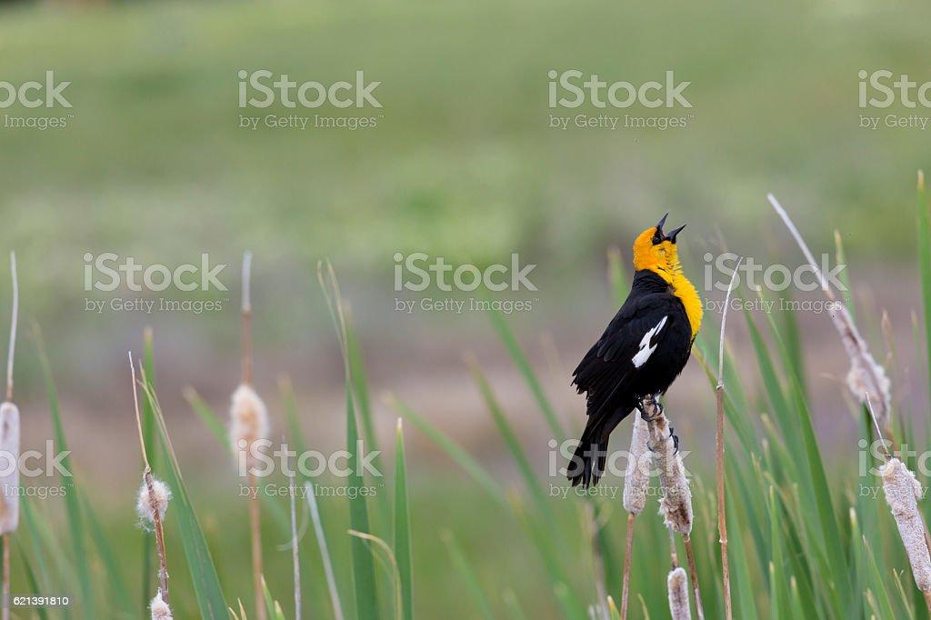 Glorious morning sung by blackbird stock photo