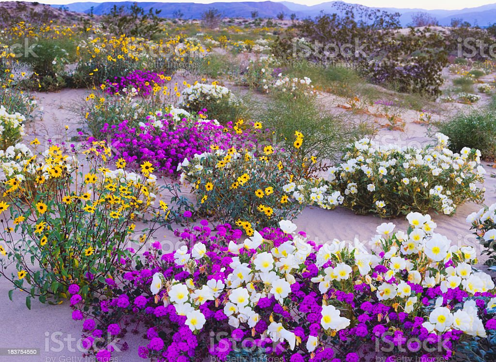 Glorious spring in the desert stock photo