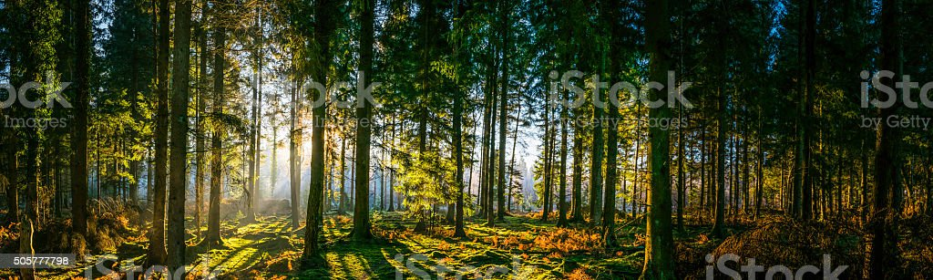 Glorious sunrise in idyllic forest glade green woodland nature panorama stock photo