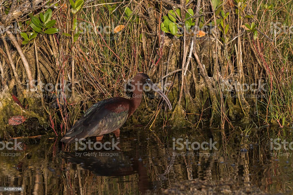 Glossy Ibis Foraging, Merritt Island National Wildlife Refuge, F stock photo