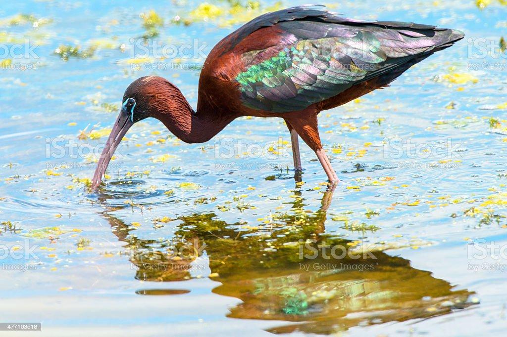 Glossy Ibis Foraging stock photo