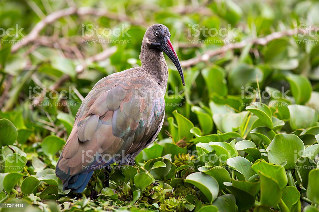 Glossy Ibis in the Reeds royalty-free stock photo