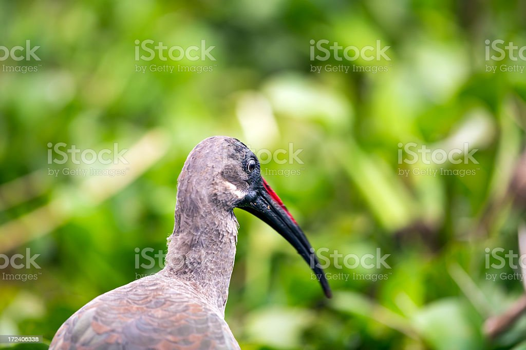 Glossy Ibis in the Reeds - portrait royalty-free stock photo