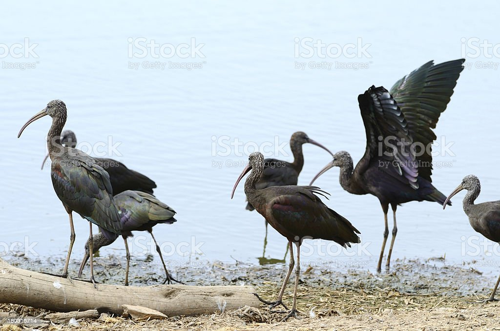 Glossy Ibis royalty-free stock photo