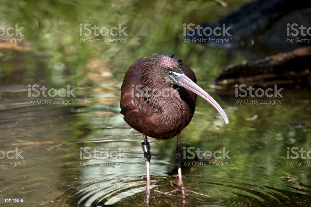 glossy ibis stock photo