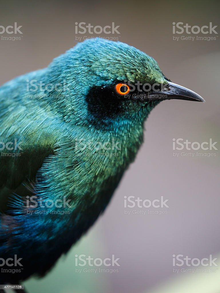 Glossy Starling Bird stock photo
