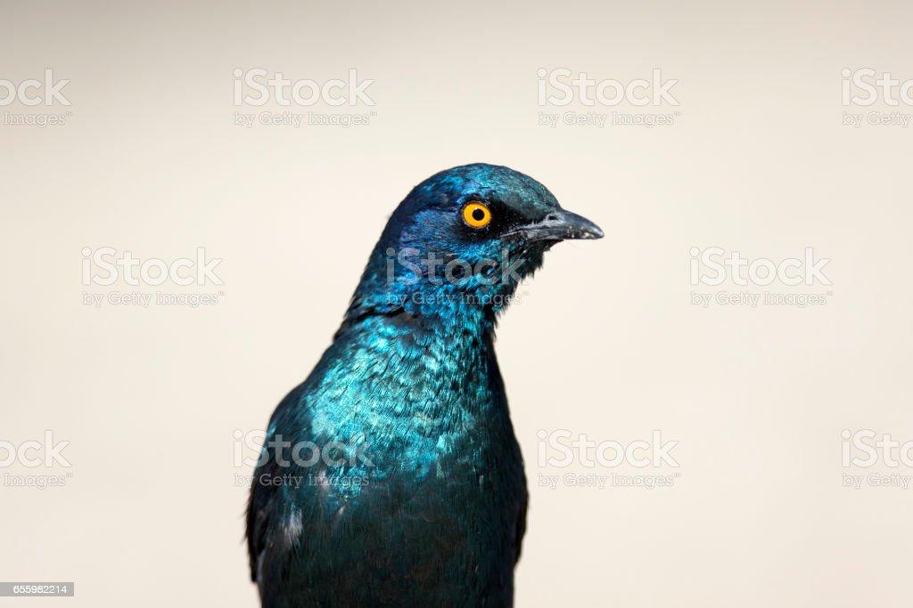 Glossy starling looking at the camera stock photo
