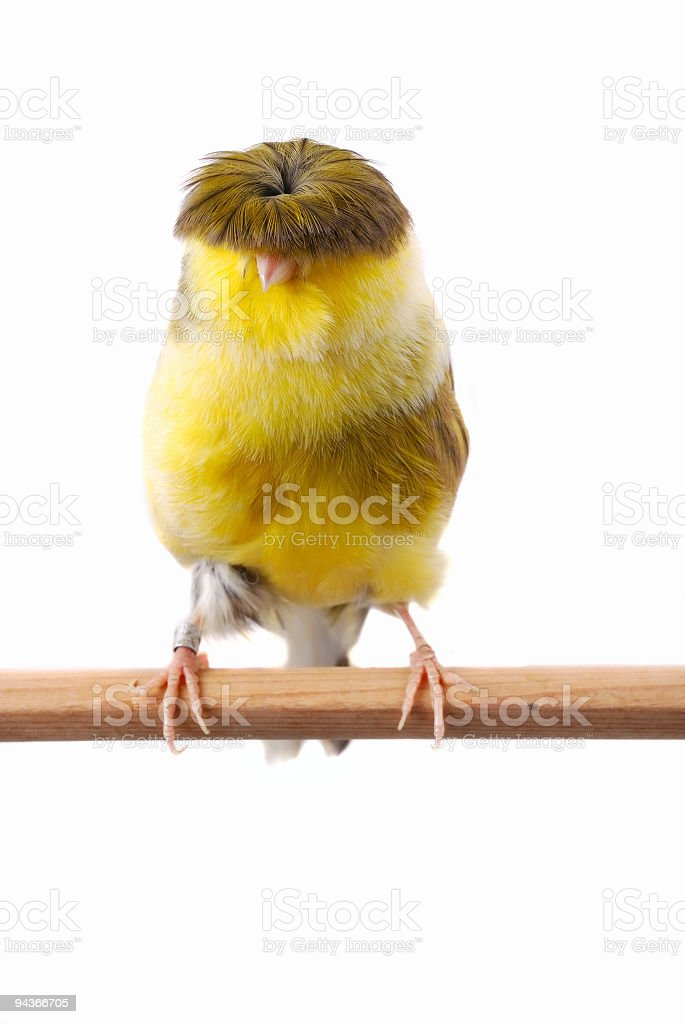 Gloster Fancy Canary royalty-free stock photo