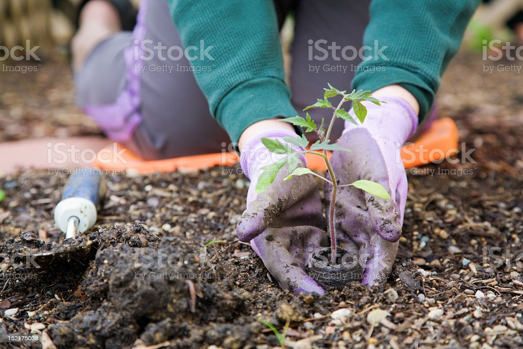 Gloved hands planting a small plant into the soil  royalty-free stock photo