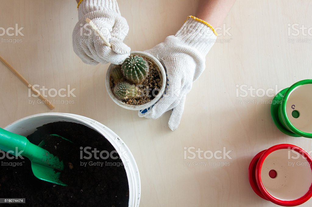 gloved hands trying to get the cactus from the pot stock photo