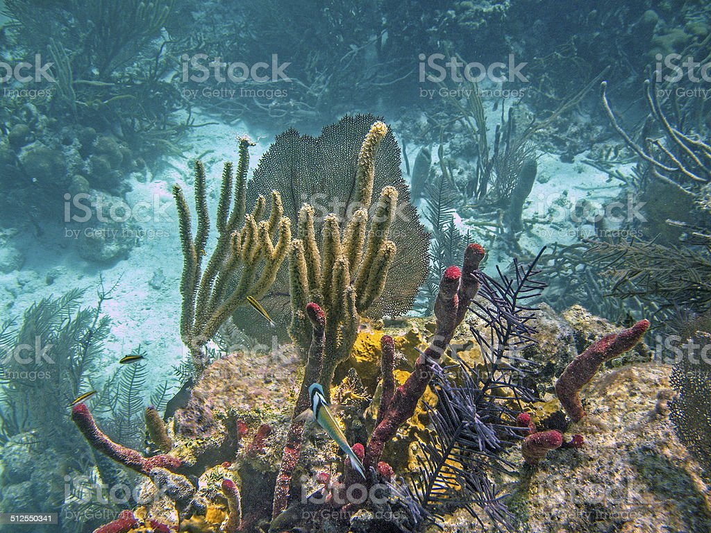 Glover's Atoll Coral stock photo