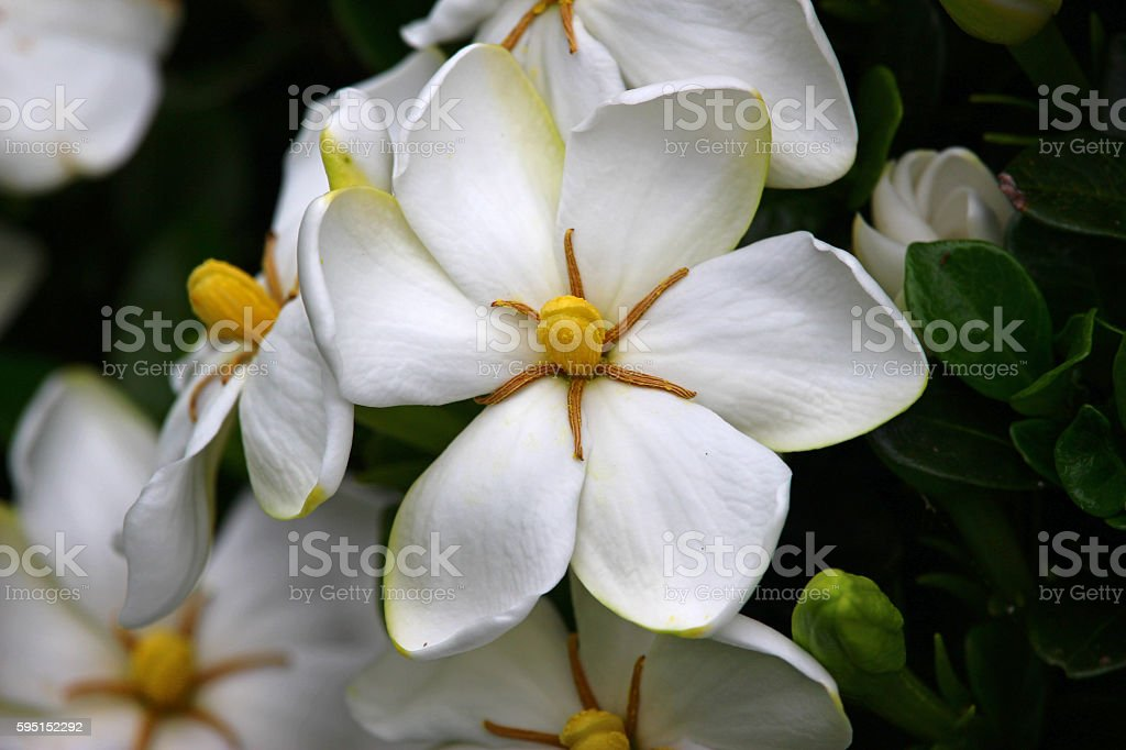 Glow of the Gardenia stock photo