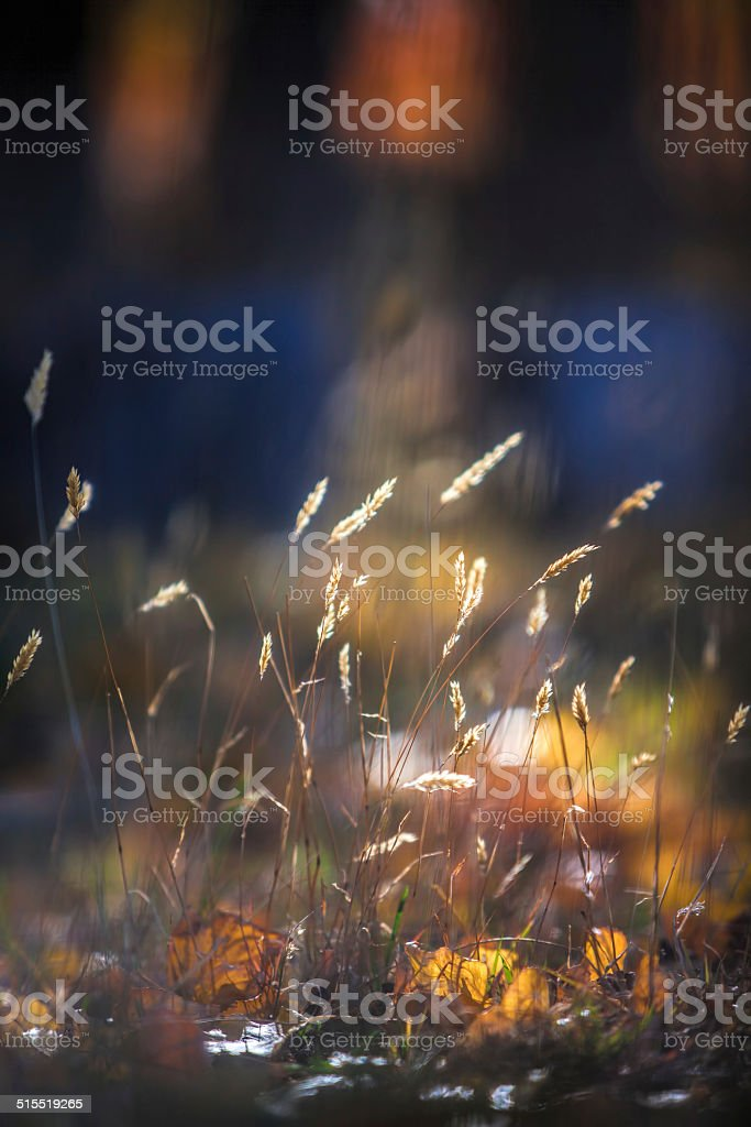 Glowing backlitted long grass stock photo