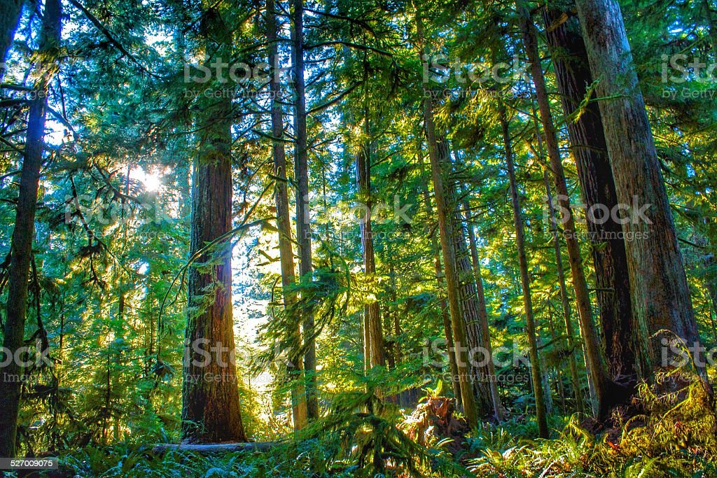 Glowing Forest of Douglas Fir stock photo