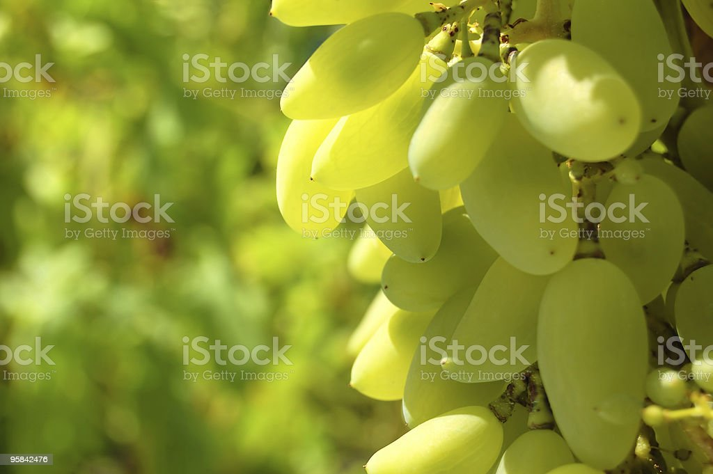 Glowing grapes royalty-free stock photo