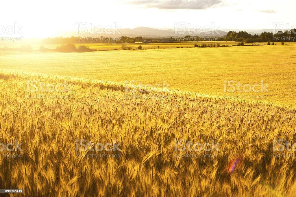 Glowing Grasslands royalty-free stock photo