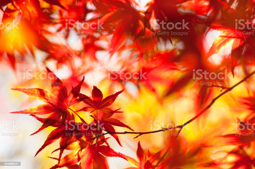 Glowing Japanese Maple royalty-free stock photo