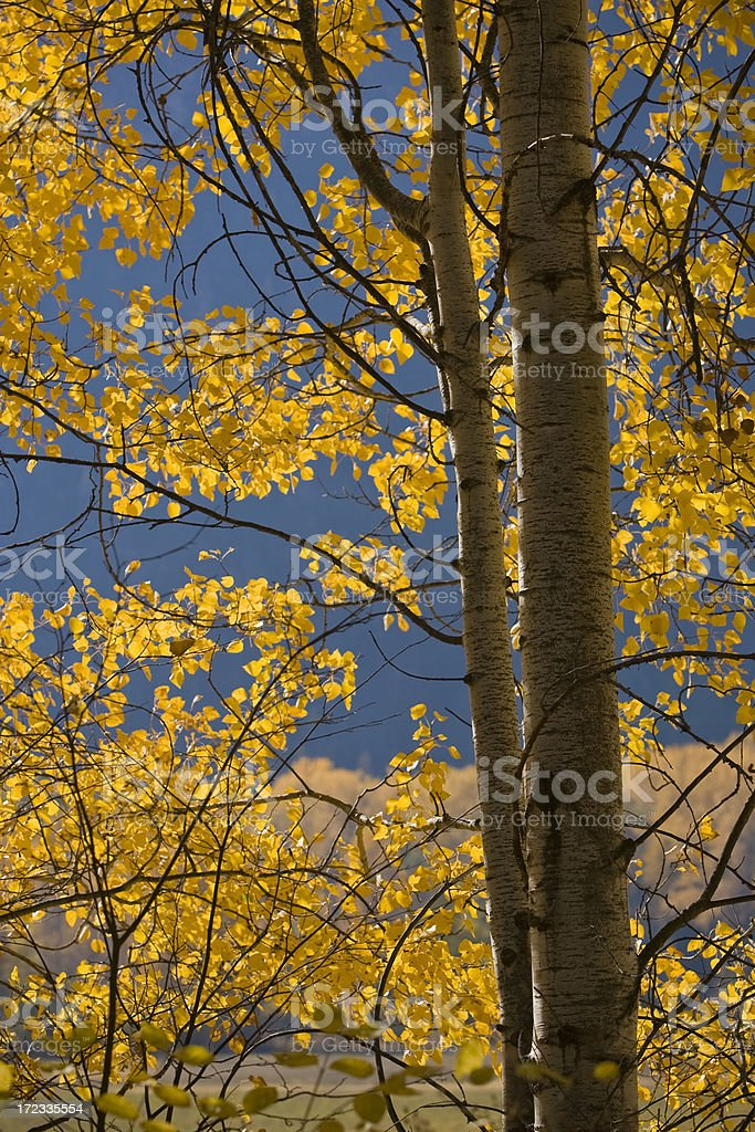 Glowing Poplars royalty-free stock photo