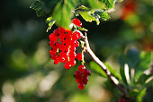 Glowing red currants