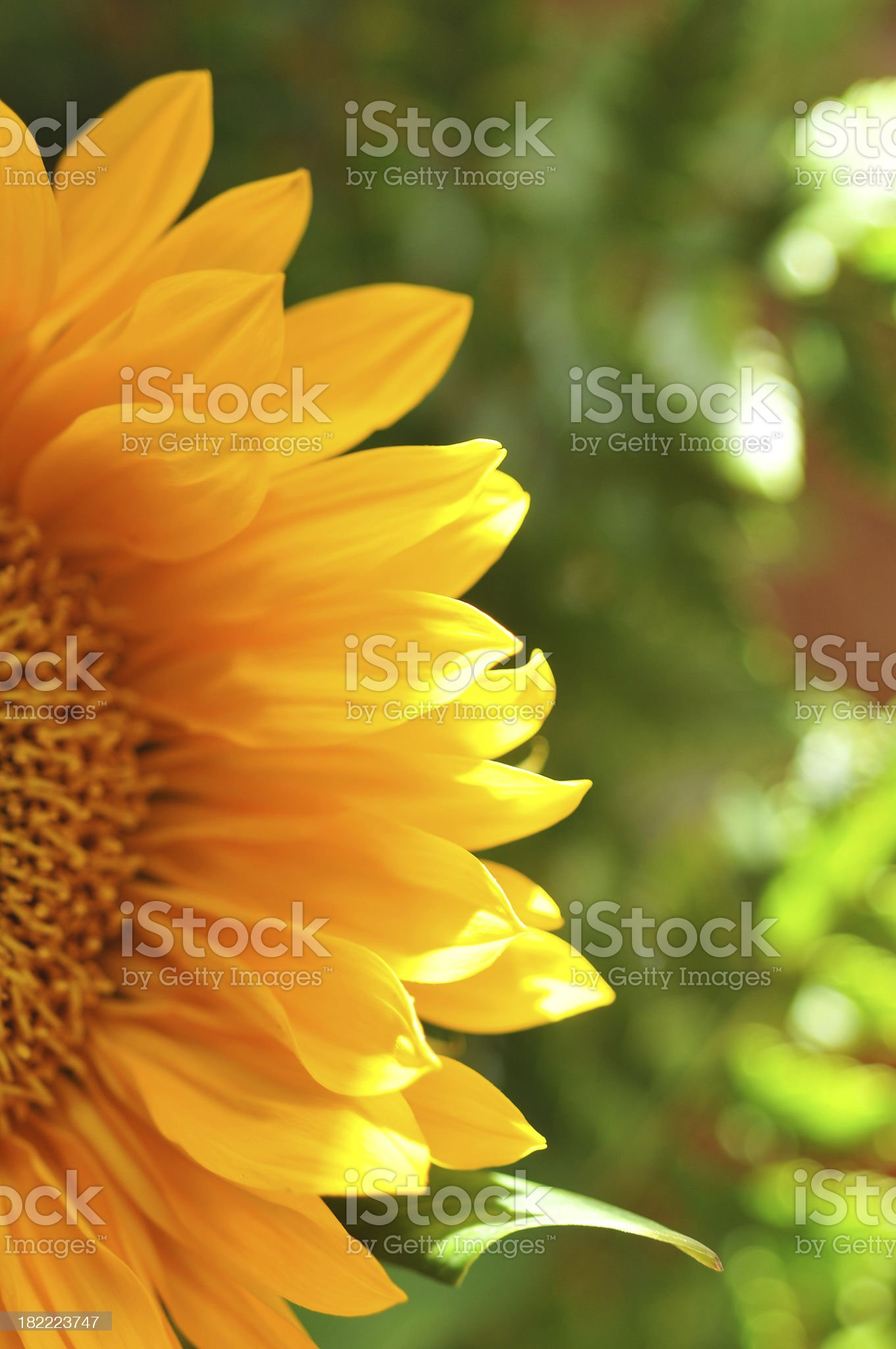 Glowing Sunflower royalty-free stock photo