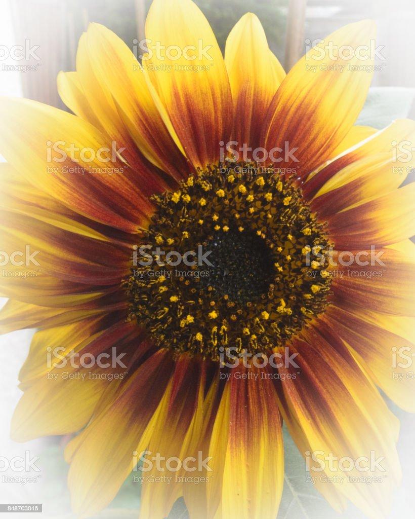 Glowing Sunflower stock photo