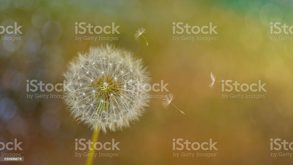 Glowing sunny spring day, Wind Blowing fluffy Dandelion seeds stock photo