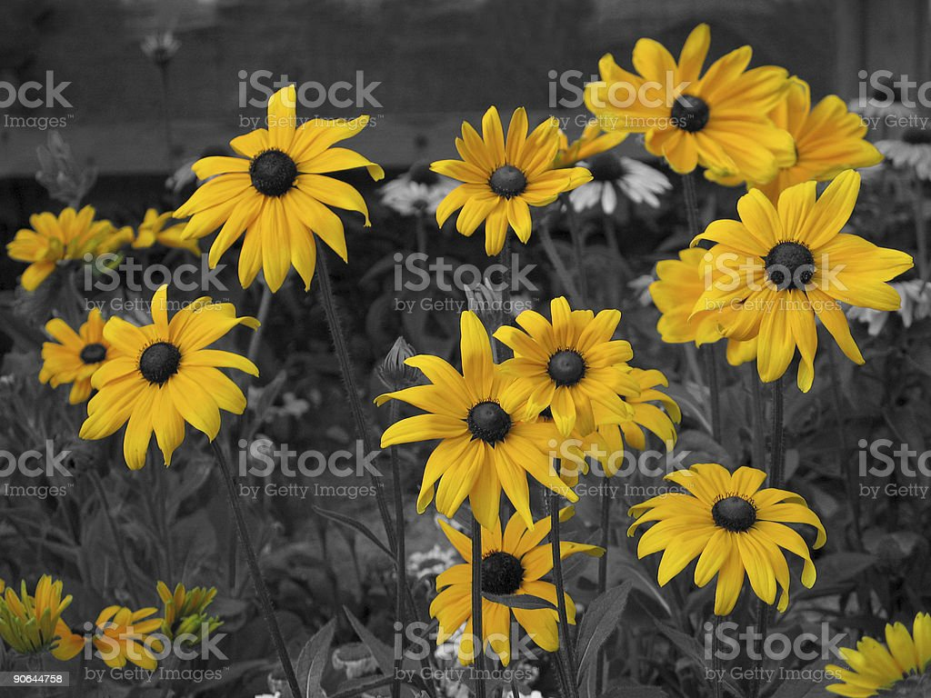 Glowing Susans ( Color Accent ) royalty-free stock photo