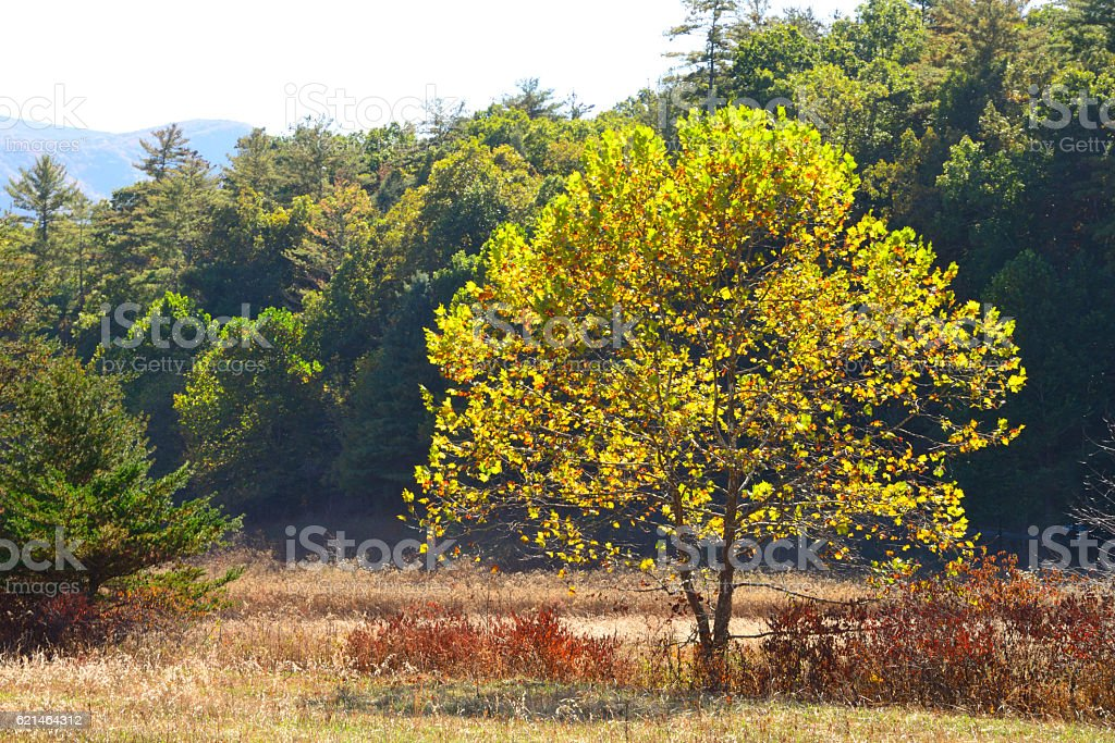 Glowing Tree in the Smoky Mountains Tennessee USA stock photo
