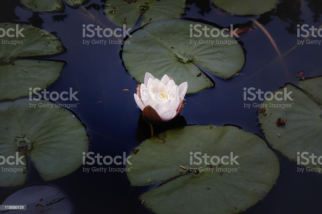 Glowing water lily royalty-free stock photo